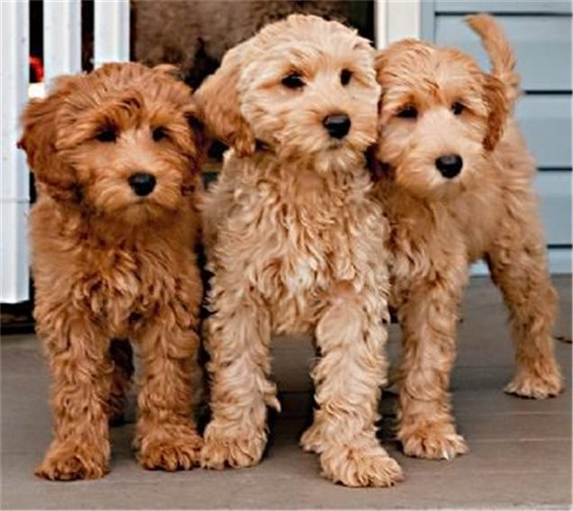 Labradoodle Puppies You Will Love Australian Labradoodle
