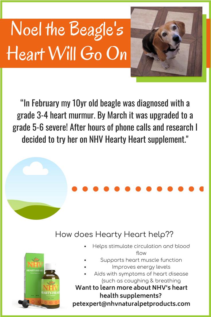 Noel The Beagle S Heart Will Go On Heart Murmurs In Dogs Heart