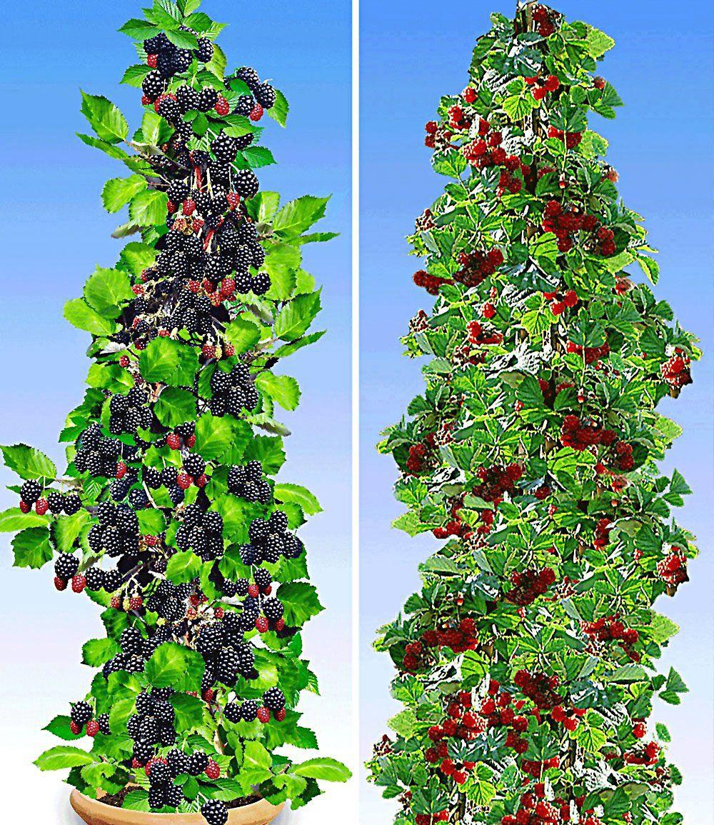 Saulen Beeren Kollektion 2 Pflanzen Gunstig Online Kaufen Mein Schoner Garten Shop Pflanzen Himbeeren Pflege Erdbeeren Garten