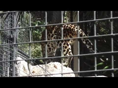 San Diego Zoo Leopard.  Filmed at the San Diego Zoo with a Panasonic HC-V100M camera in 1080P HD.  Please share this video with others and be sure to subscribe to IrixGuy's Adventure Channel (http://youtube.com/IrixGuy) and enjoy all of my other exciting videos too!