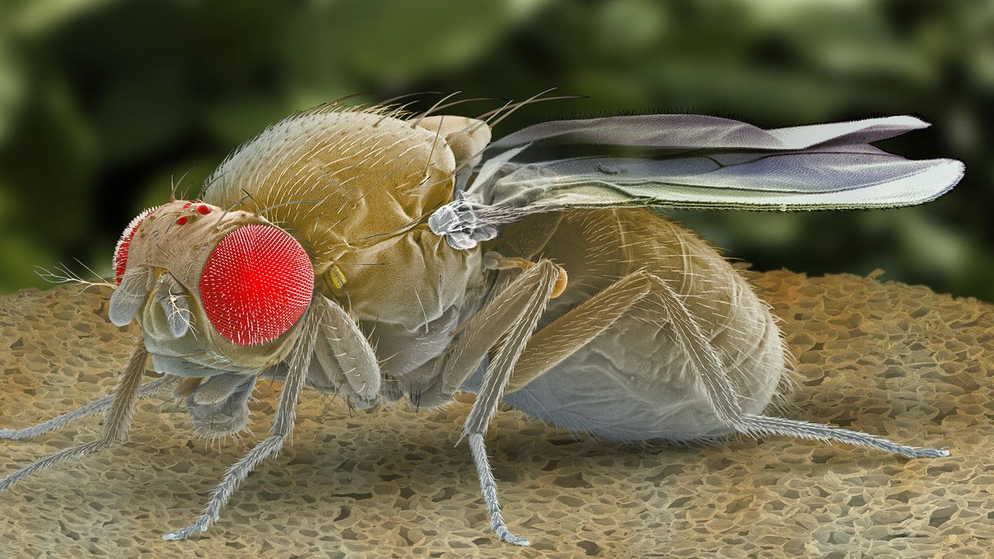 Sick And Tired Scientists Find Protein That Puts Flies To