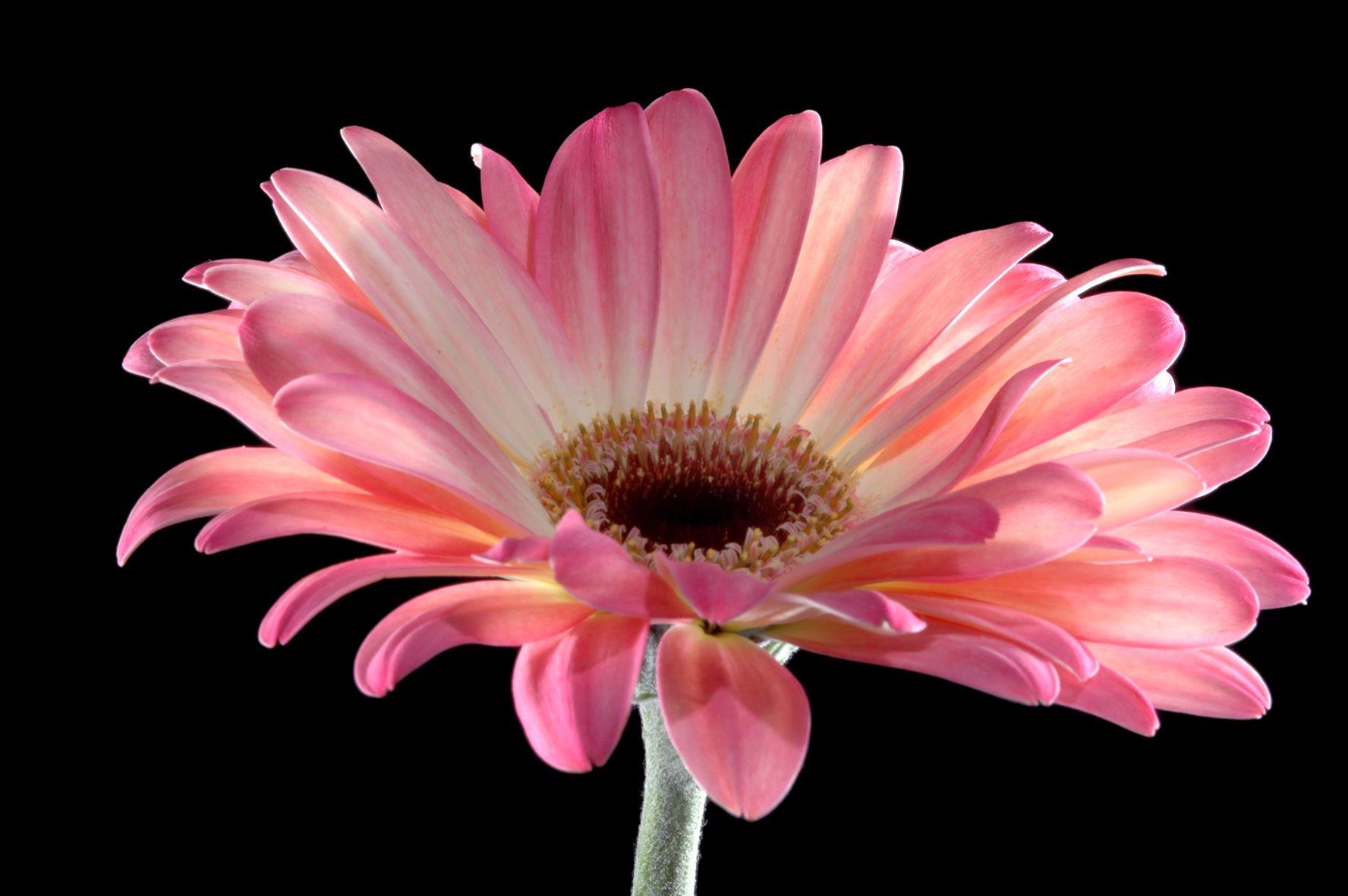 Файл: gerbera rosa | things that grow | pinterest | gerbera