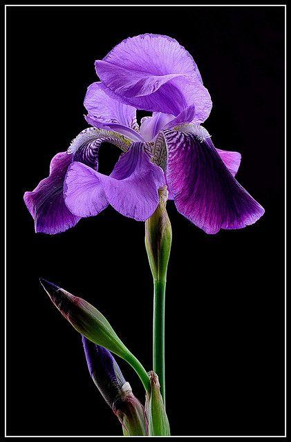 Iris Flower Iris Flowers Purple Iris Purple Flowers