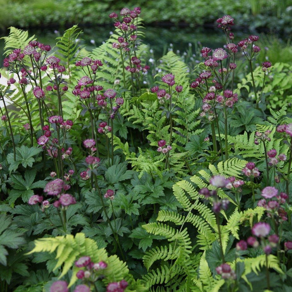 Garden trees background  astrantia uhadspen bloodu sultry  dryopteris filixmas  Plants in