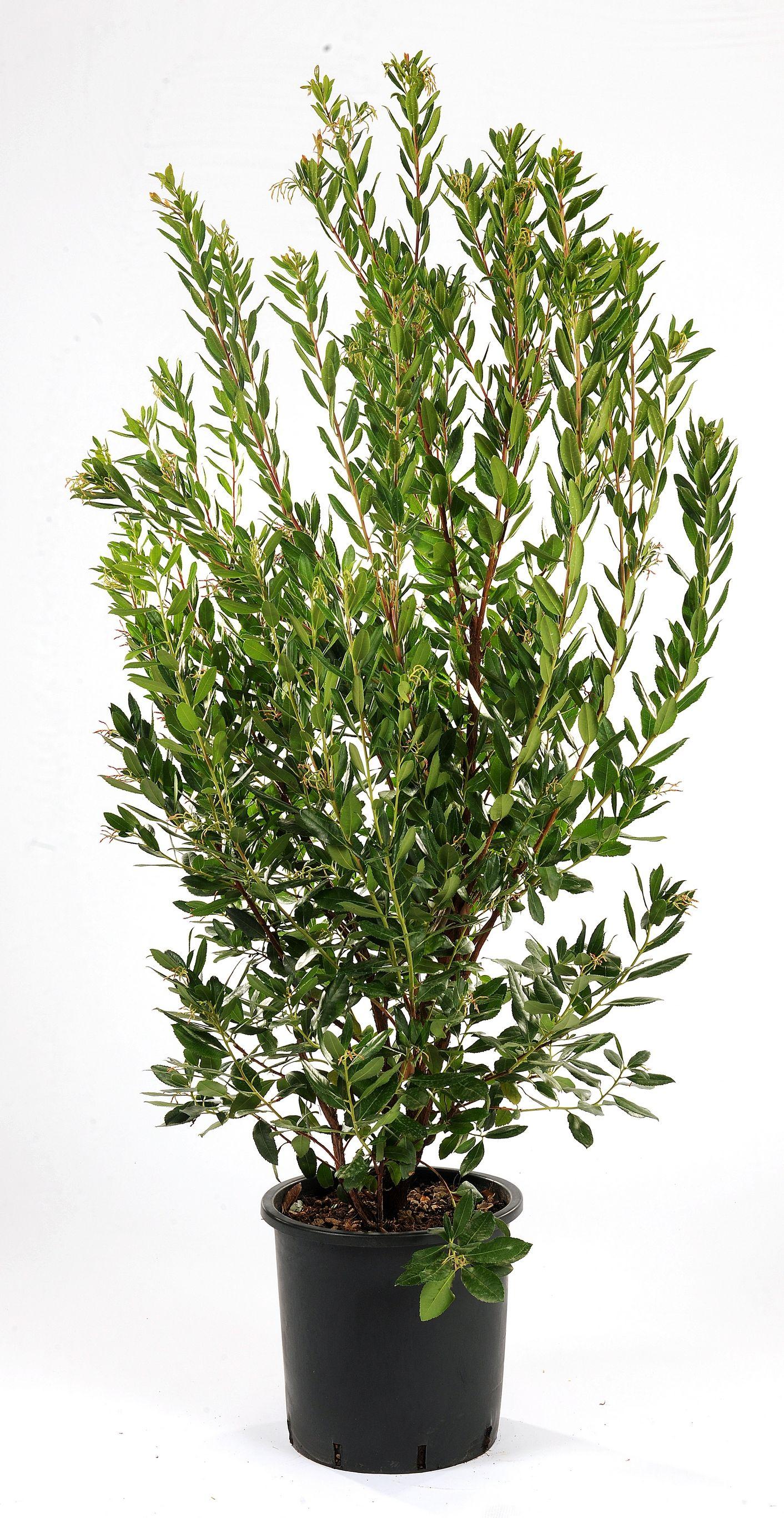 arbousier ou arbustus unedo arbuste fruits comestibles r sistant la s cheresse plantes. Black Bedroom Furniture Sets. Home Design Ideas