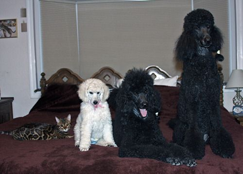 Pin On Ooodles Of Poodles Best Breed Ever