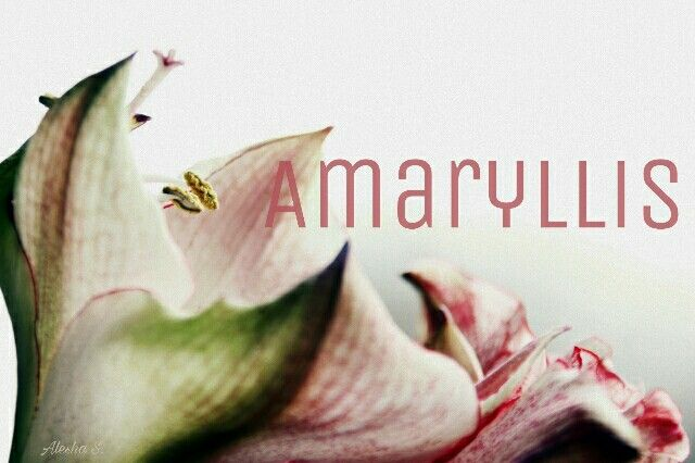Amaryllis / Greek: to sparkle; a Lily-like flower