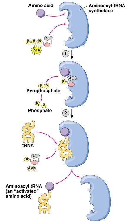 aminoacyl trna synthetase - photo #3
