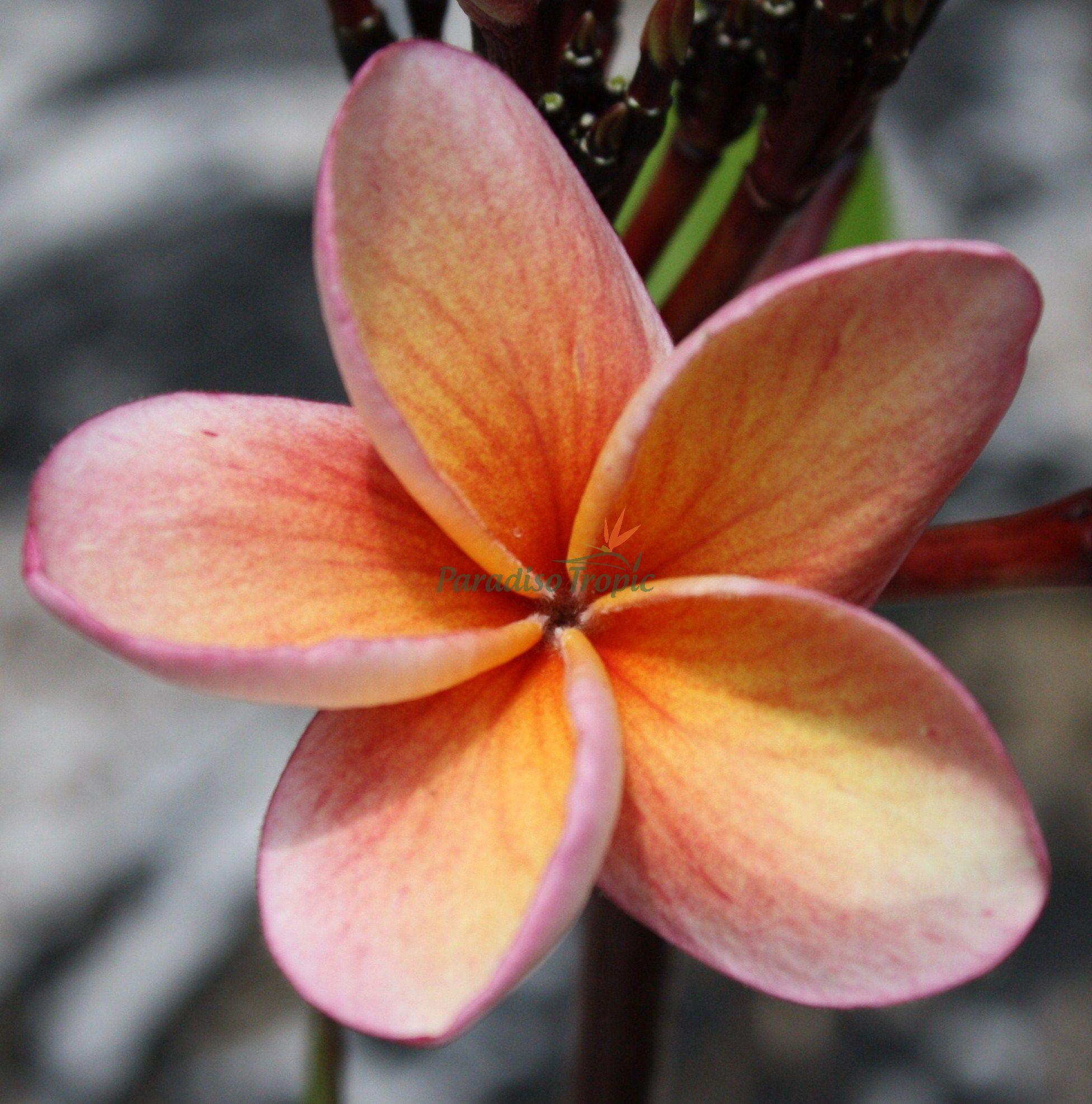 India Plumeria From Paradiso Tropic Nursery Sold For 49 95 Http Paradisotropic Com Plumeria Frangipani Tropical