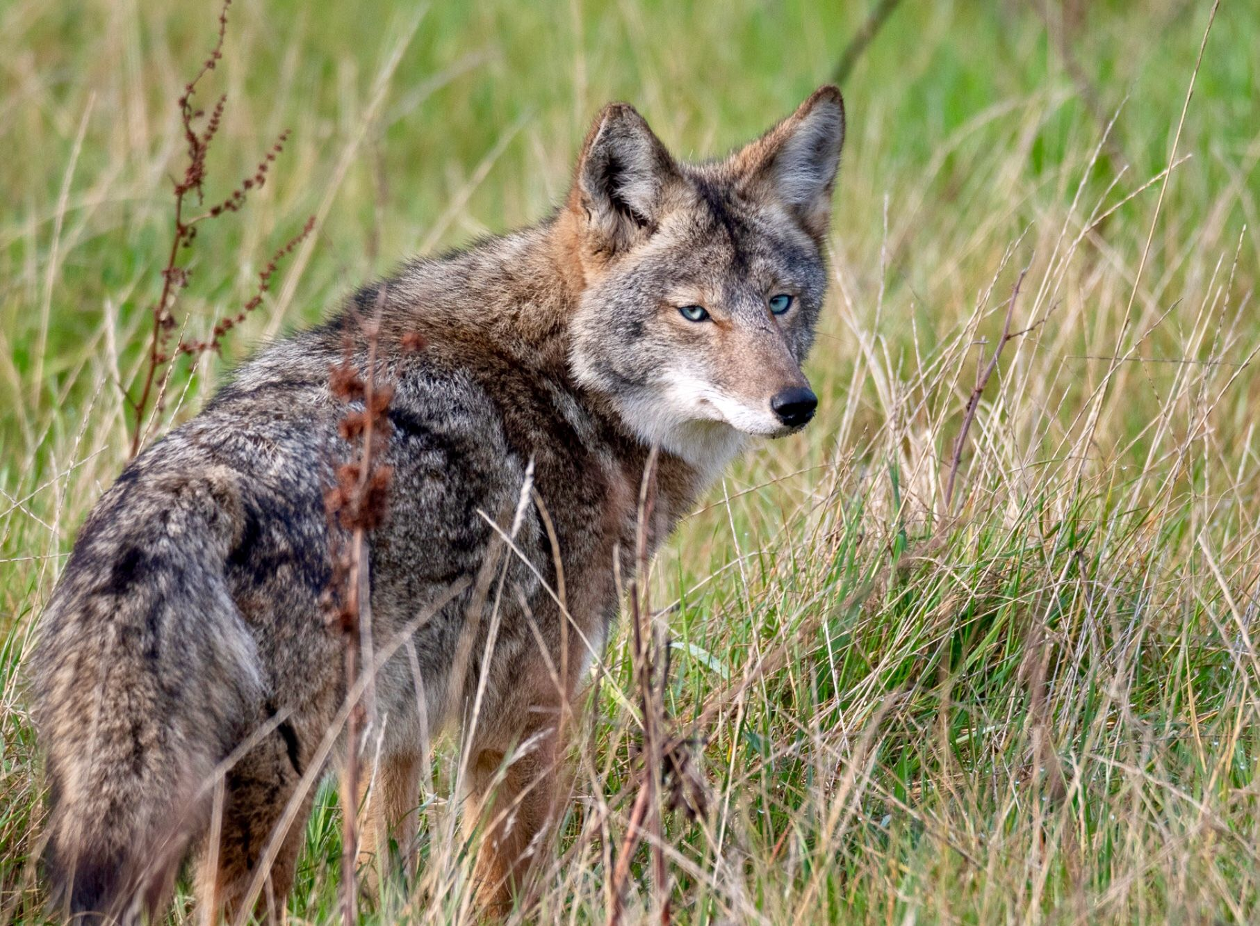 Pin by gene walton on k 9 Coyote, Animals are beautiful