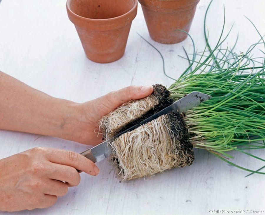 Diviser la ciboulette emploi pied de et simple - Faire pousser du curcuma ...