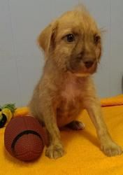 Brownie Is An Adoptable Terrier Dog In Phoenix Az 4 Adorable
