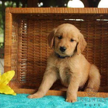 Golden Retriever Puppy For Sale In Gap Pa Adn 34916 On