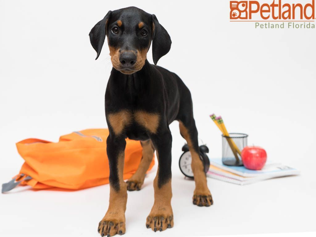 Puppies For Sale Doberman Pinscher Puppy Doberman Pinscher Dog