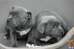 Staffordshire Bull Terrier Puppies 4 Weeks