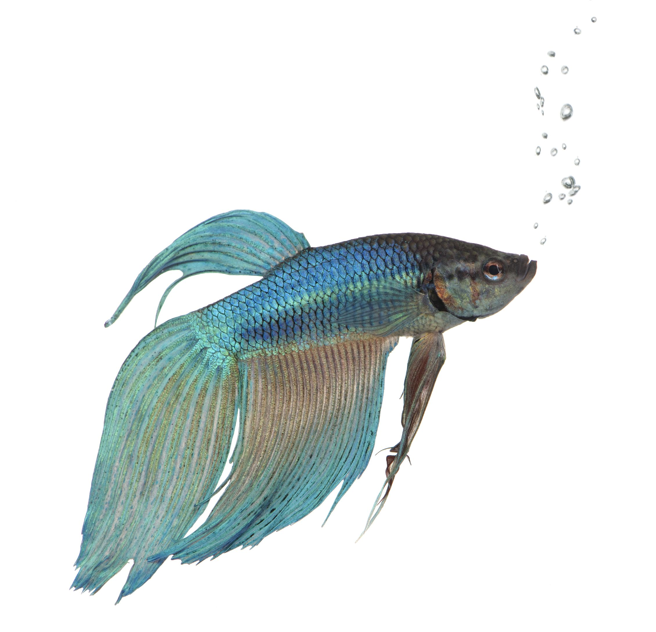 15+ List Different Types of Betta Fish with Pictures