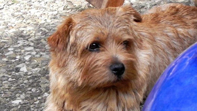 10 Things You Didn T Know About The Norfolk Terrier Norfolk Terrier Dog List Terrier