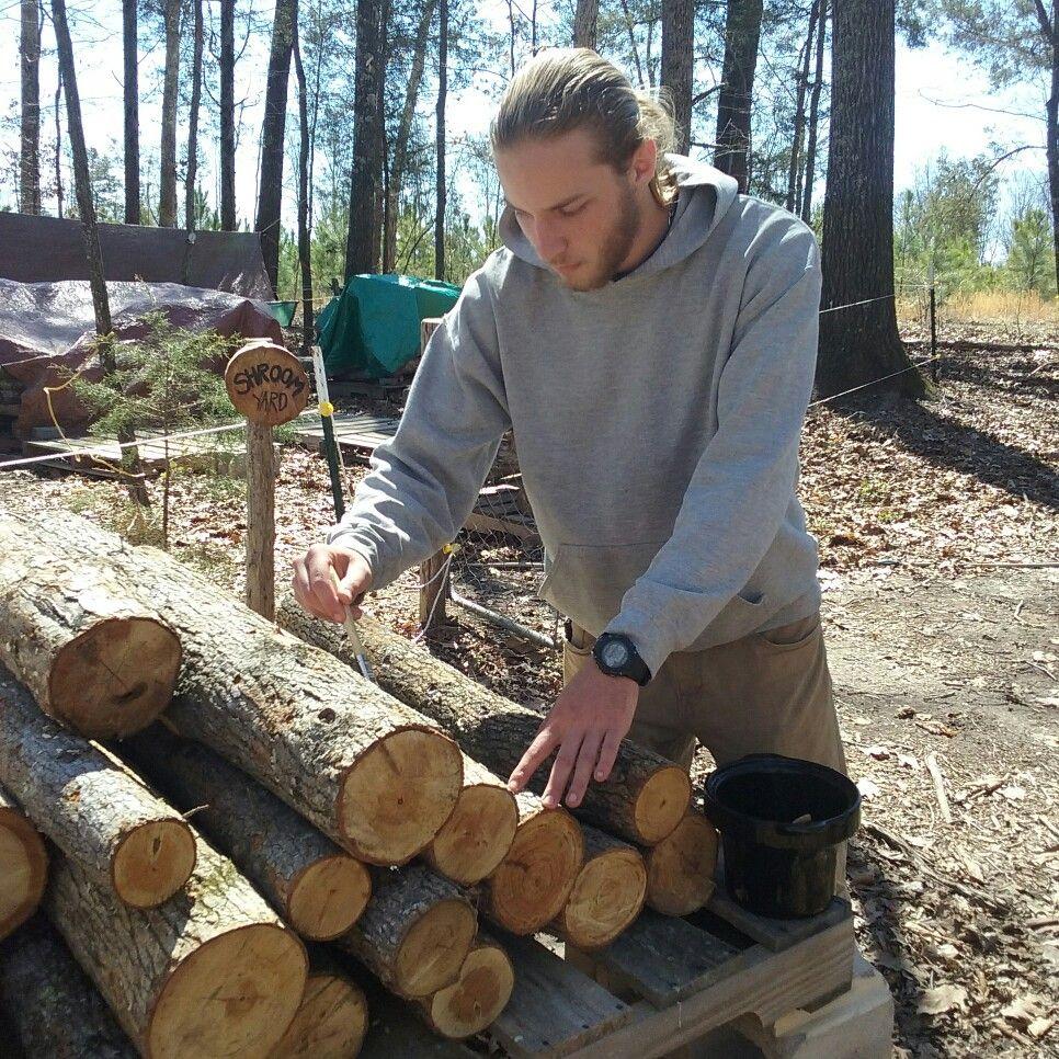 Inoculating logs with organic Shiitake spawn from Field