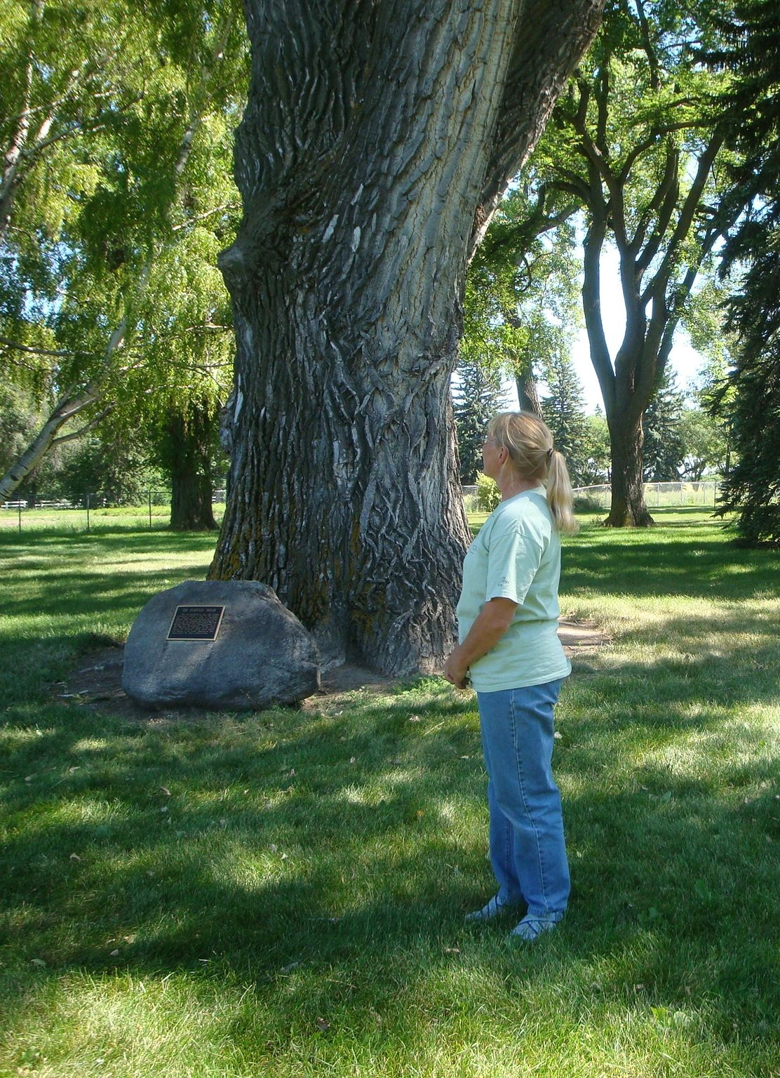 Discussing the History of Heritage Trees of Lethbridge - Fairfield Poplar, Lethbridge Research Stataion