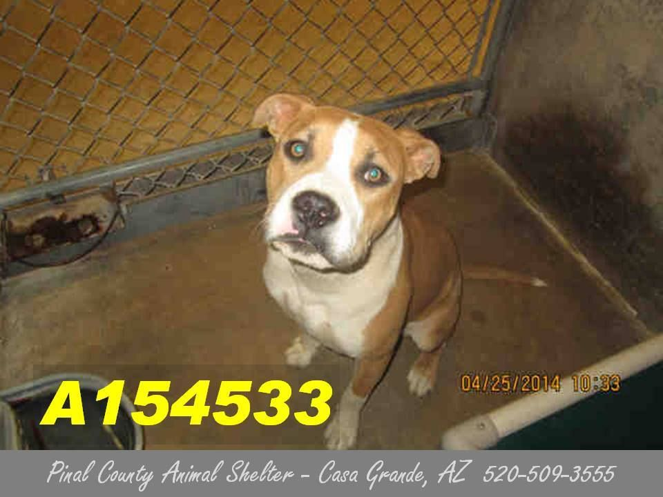 On The Preliminary Euthanasia List For 5 10 14this Dog Id A154533 Sick Dog Has A Runny Nose I Am A Female Brown And White Pi Sick Dog Pitbull Terrier Dog Id