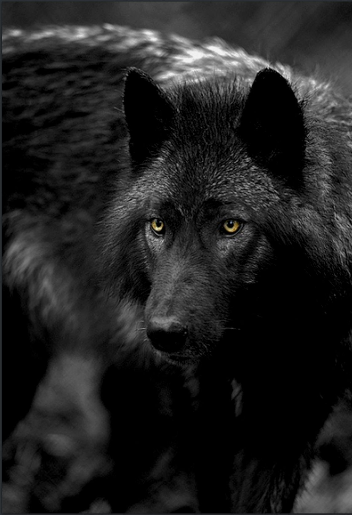 Silver Tipped Black Wolf With Yellow Eyes Black Wolf Wolf Dog Wolf Spirit Animal