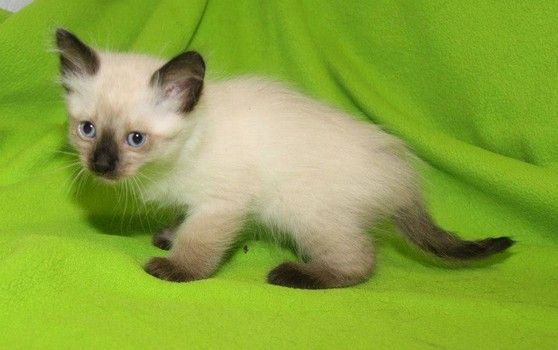 Siamese Kittens Available For Adoption From Ohio Humane Society
