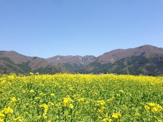 菜の花畑なう( ´ ▽ ` )
