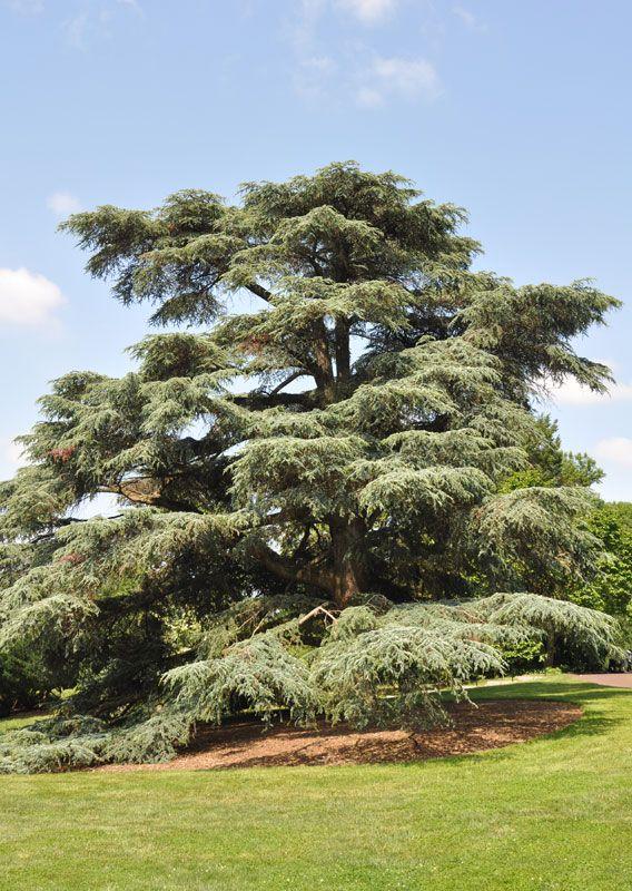 trees in arboretums   Morris Arboretum of the University of Pennsylvania   Explore