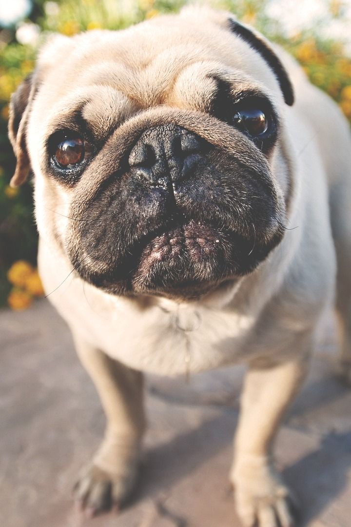 Pin By Miss Huff Puff On Smile Smile Smile Pugs