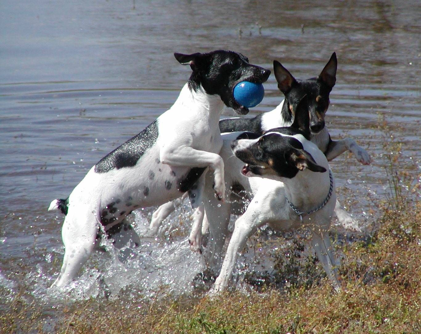 american rat terrier american rat terrier phot click on the gallery to view 2155