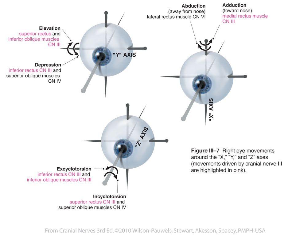 Oculomotor III - Cranial Nerves   Neuro   Pinterest