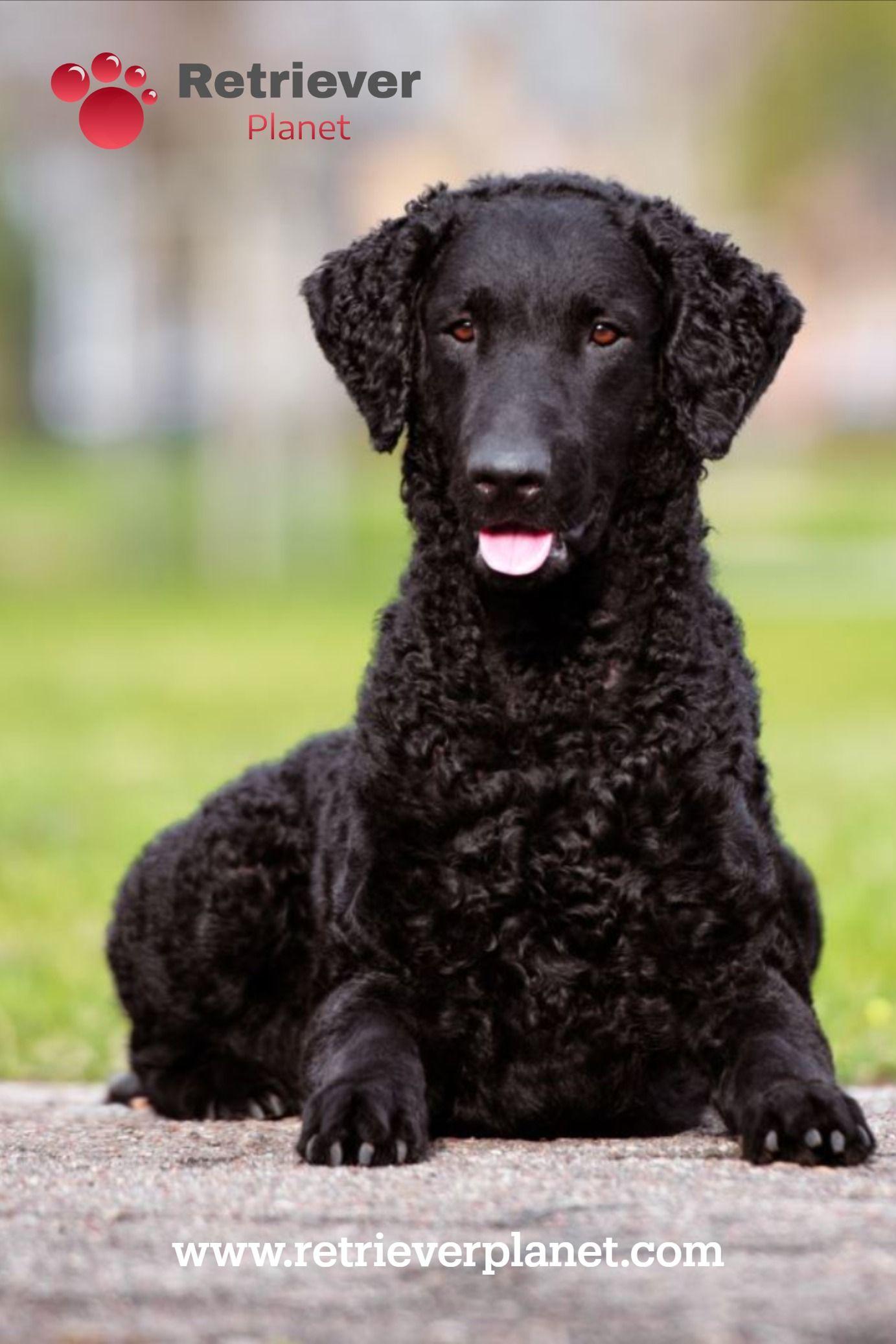 Curly Coated Retriever In 2020 Curly Coated Retriever Every Dog Breed Retriever