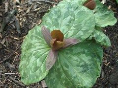 Superbe Trillium Cuneatum   Missouri Botanical Garden Plant Finder
