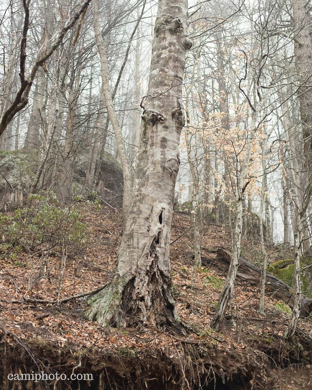 """""""An Old American Beech Tree Next To A Stream At Big Ivy"""