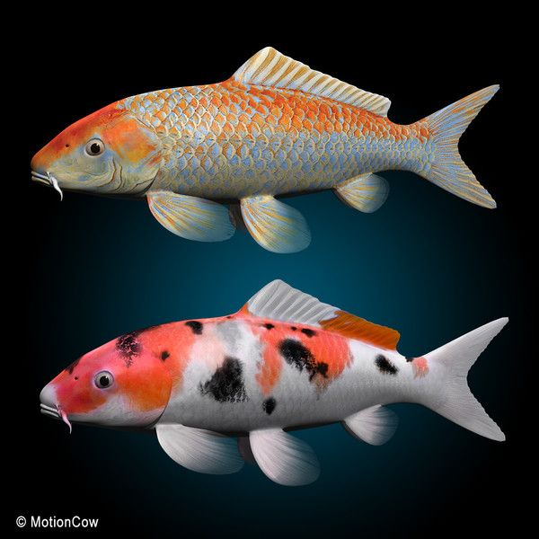 Koi fish max koi fish by motioncow fascinating fish for Pictures of coy fish