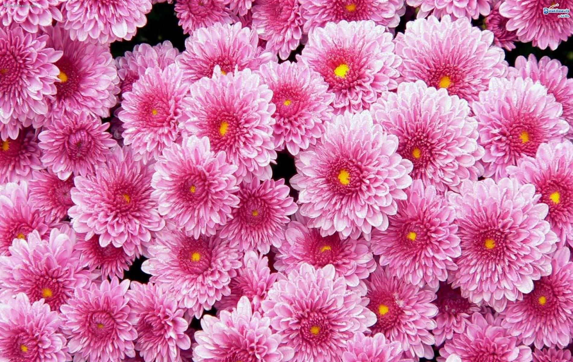 Pink Flower Backgrounds Hd Patternsprints Wallpapers
