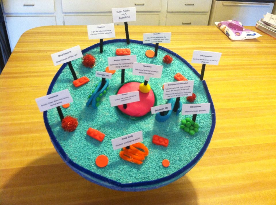 3D model of an animal cell. Dylan's 6th grade project for