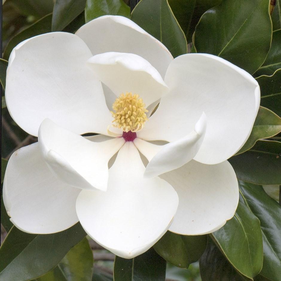 Magnolia Grandiflora Bull Bay In 2020 Magnolia Grandiflora Magnolia Flower Evergreen Magnolia