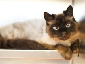 Adopt Ruby On Siamese Cats Cats Siamese
