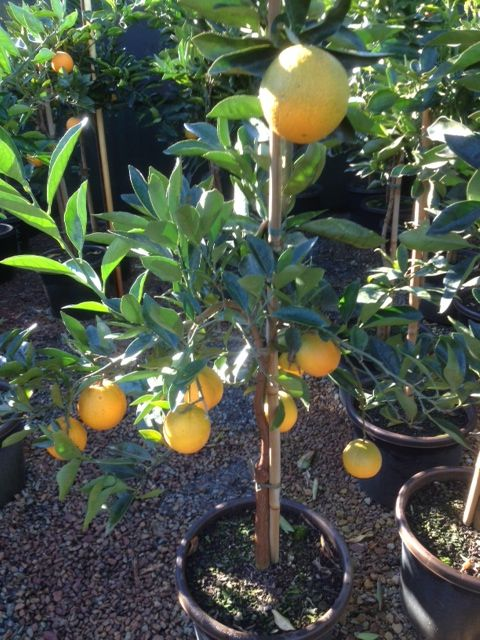 how to grow a blood orange tree in a pot