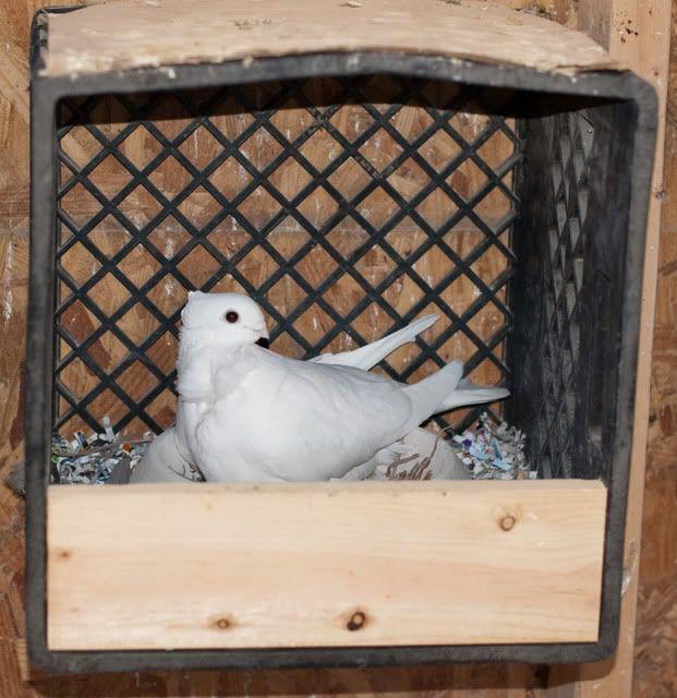 feeder chicken of greening feeders new pigeon the img gavin homemade