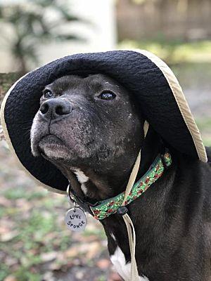Gainesville, FL - American Staffordshire Terrier. Meet ...