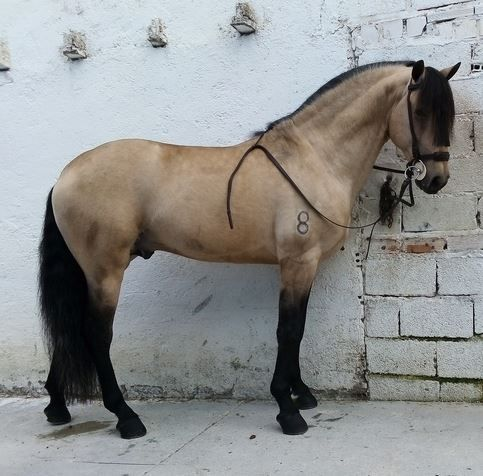 Hispano Lusitano bayo. Buckskin Spanish-Lusitano cross. #spanishthings