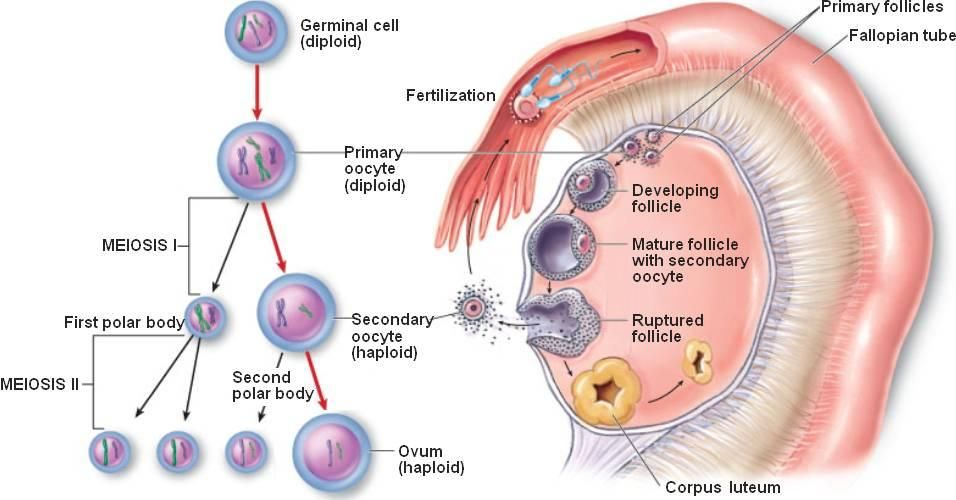 Extracellular Micrornas Profile In Human Follicular Fluid And Ivf Outcomes