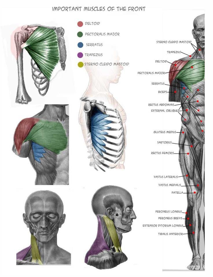 Fotos de Anatomy 4 sculptors | Art-Figure Drawing/Painting ...
