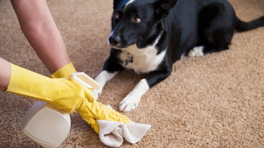 How To Get The Smell Of Pet Urine Out Of Carpet Pets