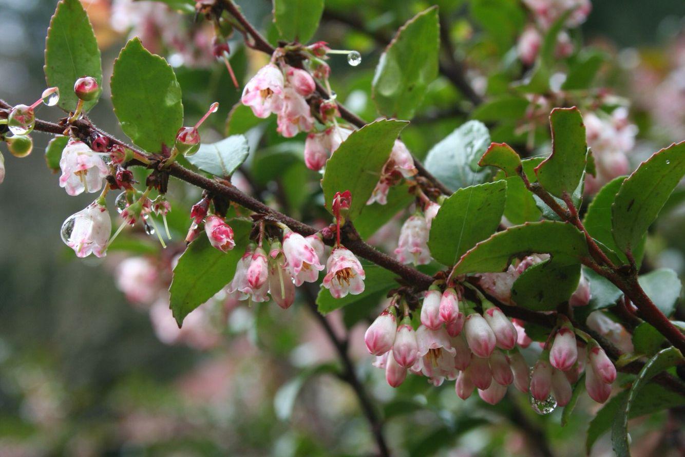 Huckleberry blossoms huckleberry tattoo huckleberry