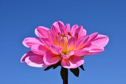 Dahlia Fleur Rose Fin De L Ete Beautes Florales