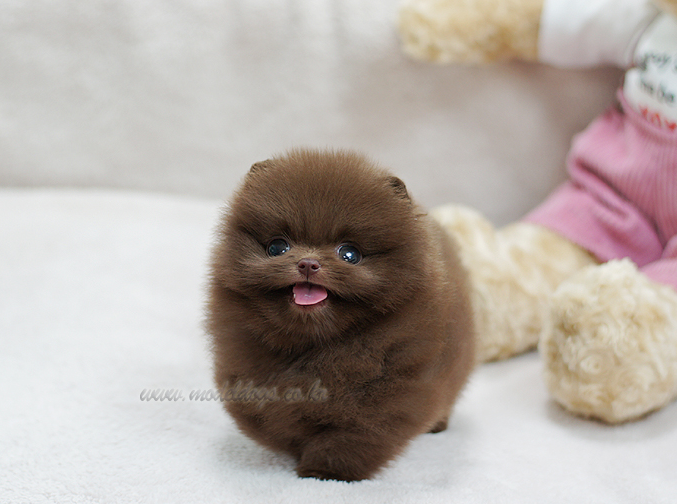 Toy Pomeranian Puppy Oh I Want A Solid Chocolate Pomp So Bad - Someone should have told this dog owner that pomeranians melt in water