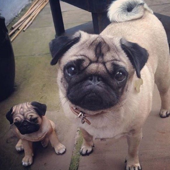 Happiness Follow Effiethepug Tag Thetomcoteshow Your Pug Pics